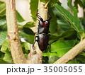 ノコギリクワガタ 昆虫 クワガタの写真 35005055