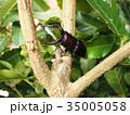 ノコギリクワガタ 昆虫 クワガタの写真 35005058