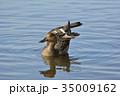 オナガガモ 鴨 野鳥の写真 35009162