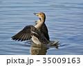 オナガガモ メス 水鳥の写真 35009163