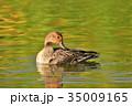 オナガガモ メス 鴨の写真 35009165
