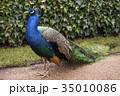 孔雀 鳥 クジャク属の写真 35010086