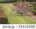 孔雀 鳥 クジャク属の写真 35010088