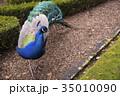 孔雀 鳥 クジャク属の写真 35010090