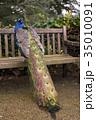 孔雀 鳥 クジャク属の写真 35010091