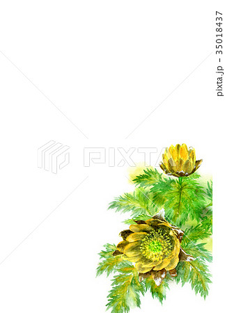 福寿草の年賀ハガキ素材 35018437