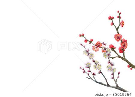 紅白梅の年賀ハガキ素材 35019264