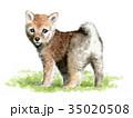 犬 水彩 柴犬のイラスト 35020508