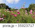 秋晴れ コスモス 花の写真 35023717