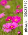 花 ピンク色 コスモスの写真 35023740