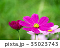 花 ピンク色 コスモスの写真 35023743