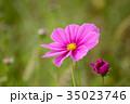花 ピンク色 コスモスの写真 35023746
