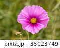 花 ピンク色 コスモスの写真 35023749
