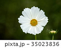 花 コスモス クローズアップの写真 35023836