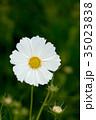 花 コスモス クローズアップの写真 35023838