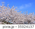 青空 満開 桜の写真 35024137