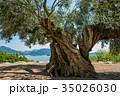 小豆島 樹齢千年のオリーヴ大樹 幹 35026030