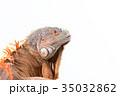振り向くレッドイグアナ 35032862