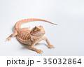 フトアゴヒゲトカゲ 35032864