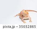 フトアゴヒゲトカゲ 35032865
