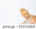 フトアゴヒゲトカゲ 35032868