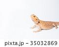 フトアゴヒゲトカゲ 35032869
