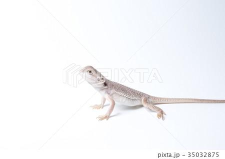 フトアゴヒゲトカゲの子供 35032875