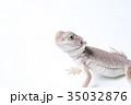 怒るフトアゴヒゲトカゲの子供 35032876
