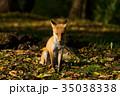 狐 動物 北狐の写真 35038338