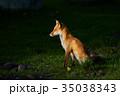 狐 動物 北狐の写真 35038343