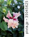 ハイビスカス オレンジフラミンゴ 花の写真 35045625
