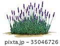 ラベンダーのイラスト ラベンダーの植物画 35046726