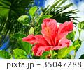 ハイビスカス 沖縄 花の写真 35047288