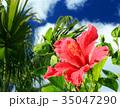 ハイビスカス 沖縄 花の写真 35047290