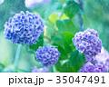 雨 紫陽花 あじさいの写真 35047491