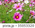コスモス コスモス畑 花畑の写真 35053320