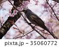 桜 ヒヨドリ 野鳥の写真 35060772