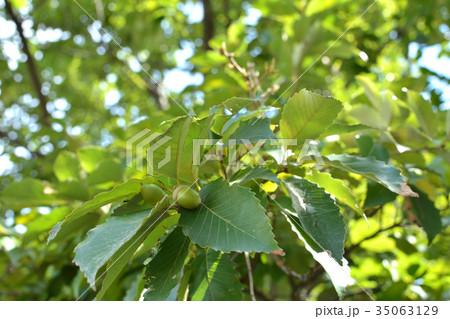 樹木:コナラ ブナ科の写真素材 ...