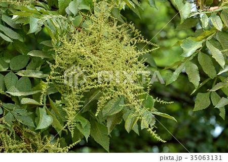 樹木:ヌルデ ウルシ科 35063131