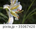 ユリ 花 百合の写真 35067420