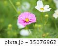 植物 花 コスモスの写真 35076962