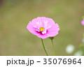 植物 花 コスモスの写真 35076964