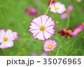 植物 花 コスモスの写真 35076965