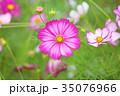 植物 花 コスモスの写真 35076966