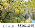 植物 果実 カリンの写真 35081845