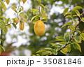 植物 果実 カリンの写真 35081846