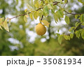 植物 果実 カリンの写真 35081934