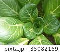 小松菜 35082169