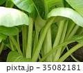 小松菜 35082181