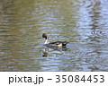 オナガガモ 鴨 湖面の写真 35084453